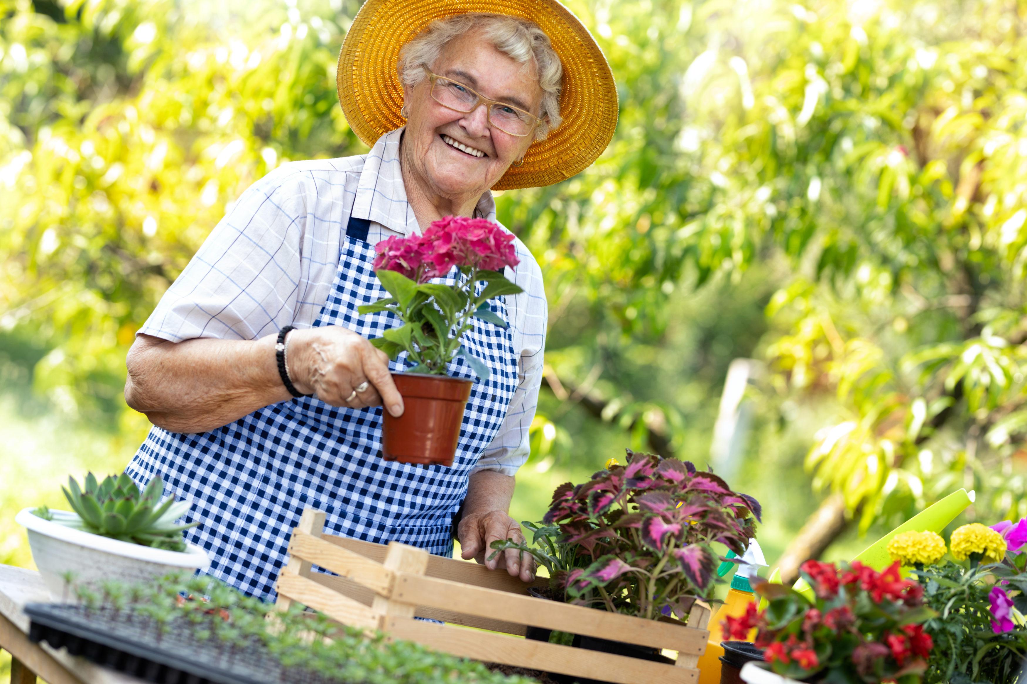 Senior woman gathering flowers in garden. Elderly woman smelling her blooming flowers.